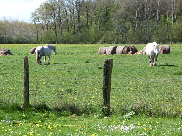 Percheron - paarden