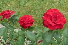 rozen om de gite